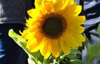 sunflower.springhill.2013 (2)
